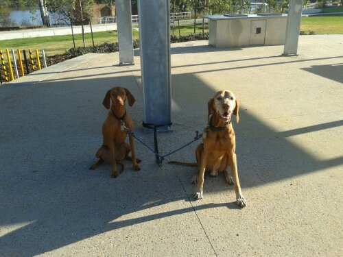 My photographic assistants -- Hungarian Vizslas Roger and Candy